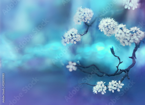 Fototapety, obrazy : Beautiful curved branches with white cherry flowers in spring close-up on a blue soft background. Light blue blurred floral background desktop wallpaper a postcard. Romantic gentle artistic image.