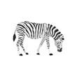 zebra was feeding illustration