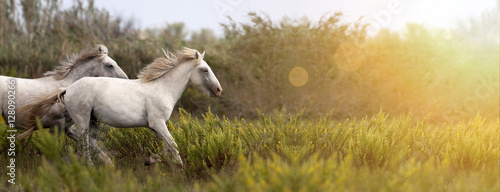 Aluminium Paarden Website banner of beautiful white horses as running in the field