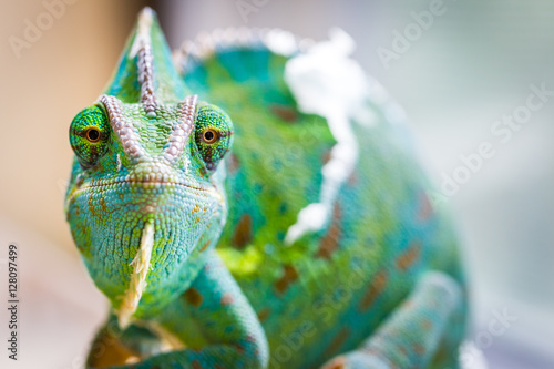 Fototapeta Chameleon Macro Reptile 3 (Eyes Straights)
