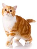 Scottish straight cat stojących na białym tle