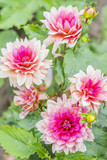 light pink dahlias