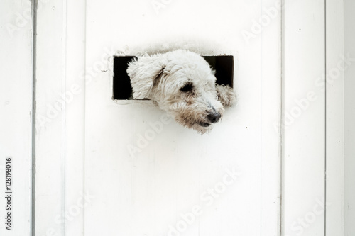 Poster Little dog is watching outside of the white door