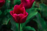 Beautiful tulis in botanical garden