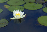 Yellow water lily over blue and green lake