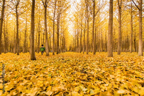 Fotobehang Oranje maidenhair tree grove, Autumn atmosphere, Autumn scenery, leaves change color in fall