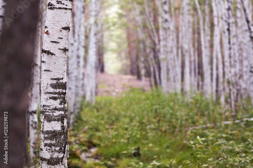Forest with white brich at the summer day