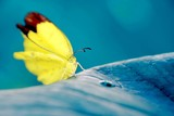 Yellow butterfly perched on the blue foliage, also shows beautiful blue bakground