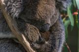Australian Koala  with baby Joey sitting in a Eucalpt Tree