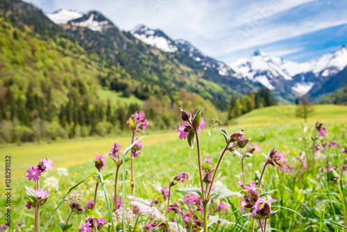 Foto op Aluminium Zwavel geel Lila Frühlingsblumen vor schneebedeckten Gipfeln im Allgäu