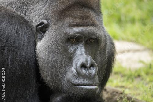 Plagát, Obraz Gorilla