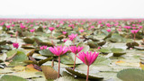 Pink waterlily at the sea of Red waterlily, Located Sea of Red waterlily, Udonthani province, Thailand