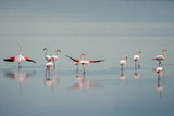 beautiful light on pink flamingo group