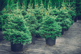 Christmas trees in pots for sale. Retro toned photo. - 128399696