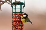 great tit hanging on peanut bird feeder