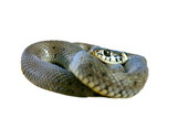 isolated grass snake