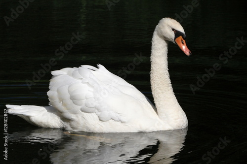 Fotobehang European Mute Swan (Cygnus olor) swimming, set against a black background