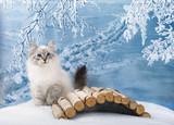 Siberian kitten on winter nature in snow