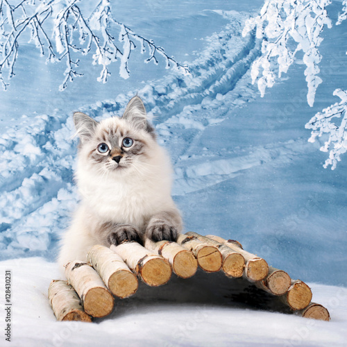 Siberian kitten on winter nature in snow Poster