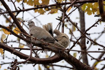 Collared Doves (Streptopelia decaocto) sitting on a tree branch