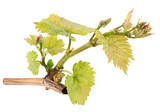 Seedling grape on white