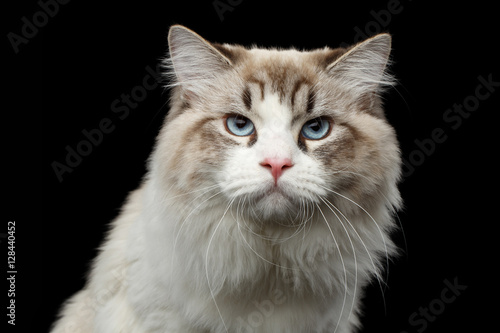 Poster Close-up portrait of Grumpy Siberian cat with blue eyes looking in camera on iso