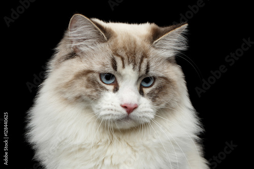 Poster Close-up portrait of Funny Siberian cat with blue eyes looking in camera on isol