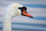 Mute Swan (Cygnus olor) at Warnham Nature Reserve