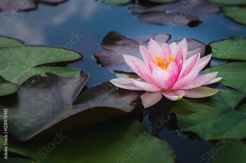 Beautiful lotus flower in pond buy photos ap images detailview beautiful lotus flower in pond mightylinksfo