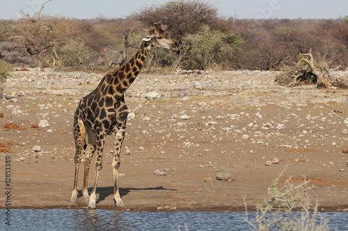Plakát, Obraz Giraffe