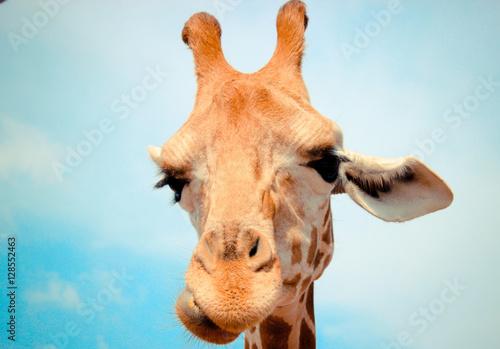 Poster, Tablou Giraffe Portrait