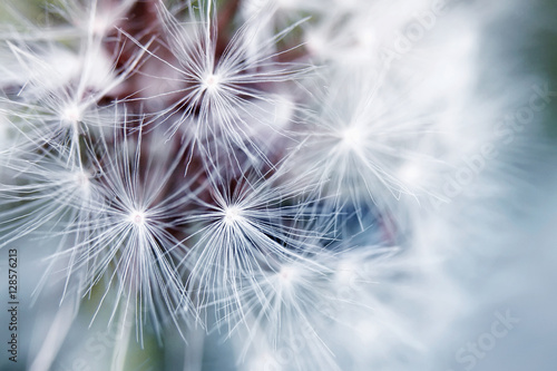 delicate background of white soft and fluffy seeds of the dandelion flower - 128576213