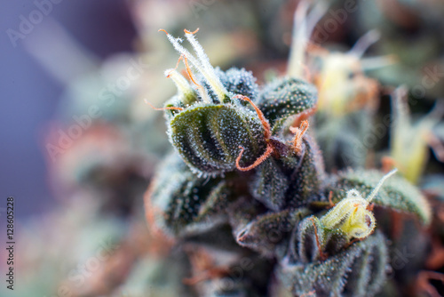 cannabis macro trichomes background flower plant marijuana
