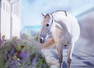 White horse stay on the walkway with lavender