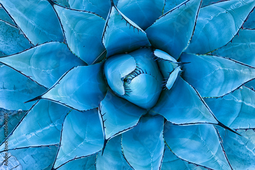 Blue Agave Plant - 128649085