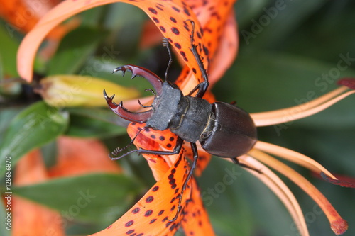 Poster stag-beetle on tiger lily