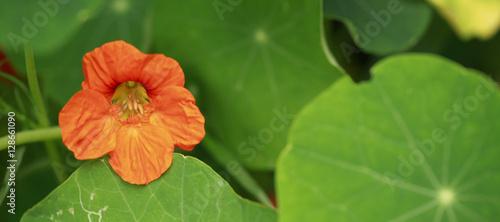 kwiaty detal - pomarańczowa nasturcja z długą łodygą