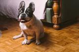 Cute French Bulldog sitting on a floor