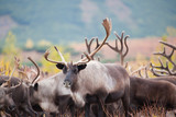 Close up caribou herd in autumn, fall . Kamchatka Russia