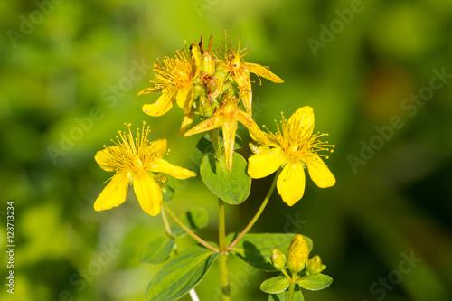 Perforate St John's-wort. Hypericum perforatum macro flowering plant in green background Photo by Viktoria