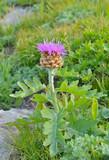 Flower RHAPONTICUM SATZYPEROVII 1