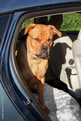 Poster Big red dog sitting on guard and looking attentive in back end of a car
