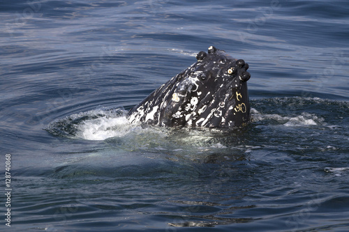 umpback whales snout stickingt out of the water sunny summer day Poster