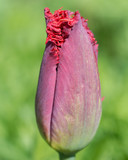 Terry red tulip bud