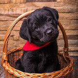 Labrador retriever puppy, dogs, black at the wooden background
