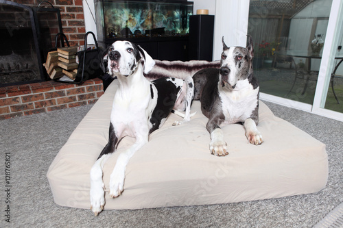 Pair of Great Danes on dog bed in a home. Poster