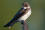 Sand martin in the early morning - 128770085