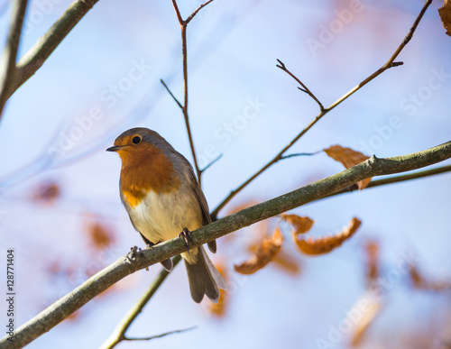 Poster Cute little red robin bird perched during winter