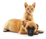 Red cat and puppy.