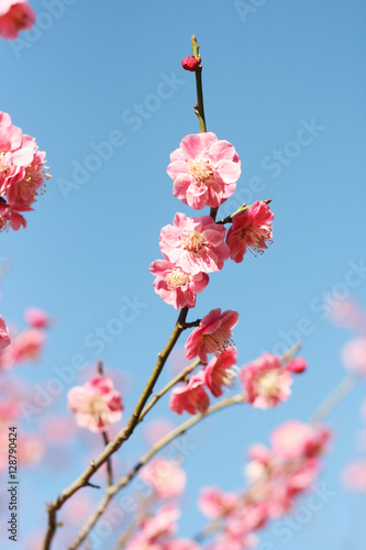 Cherry blossom and blue sky Poster
